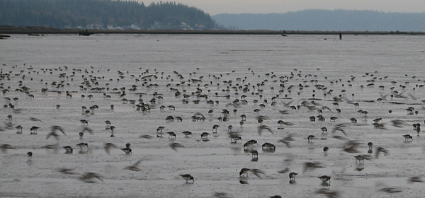 Dunlin Habitat Use and Diet