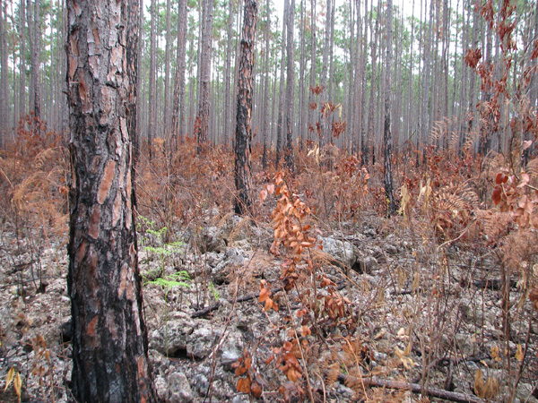 Effects of fire on birds in south Florida pinelands