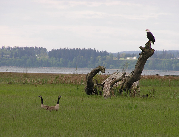 Habitat use by waterbirds, Skagit River delta