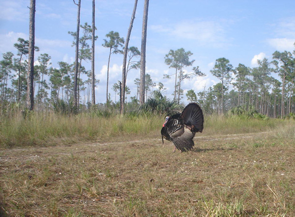Wild Turkey in Everglades National Park