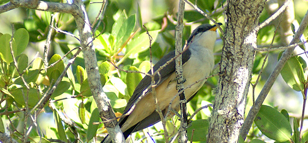 Mangrove Cuckoos, About