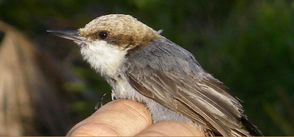 Conservation of Bahama Nuthatch, Ecostudies Institute