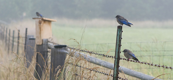 Western Bluebird Pacific Northwest, Ecostudies Institute