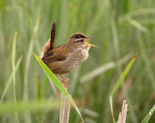 blog_marsh_wren