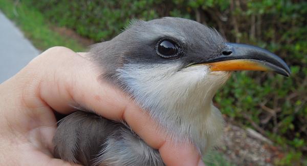 Mangrove Cuckoo 872