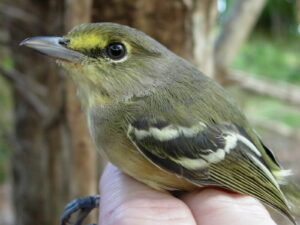12. Thick-billed Vireo 11-7-05