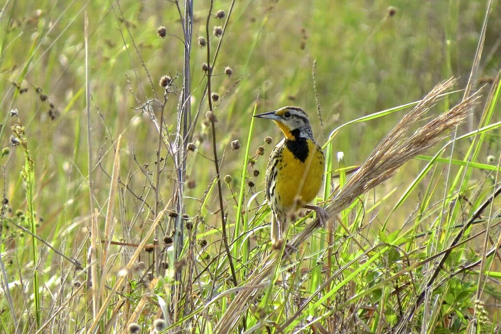 Eastern Meadowlark. Photo by Laura Young