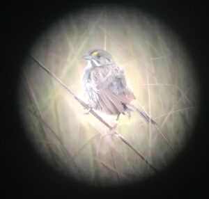 A male Cape Sable Seaside Sparrow through the lens of a spotting scope.