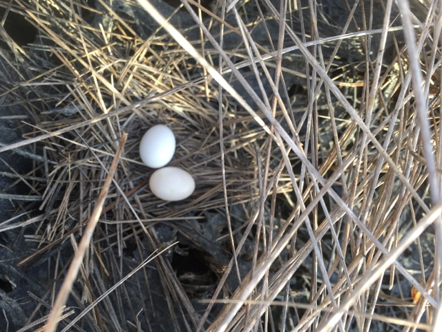 A dove nest in the prairie